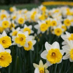 Daffodils in the Keukenhof Gardens