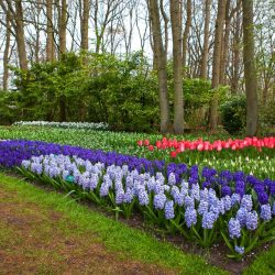 Sea of beautiful flowers in Keukenhof Gardens