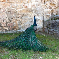 Peacock on Lokrum Island